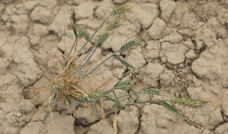 Aşırı sıcaklar tarımsal afete neden oldu